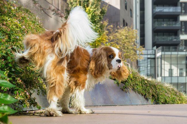 dog peeing on street