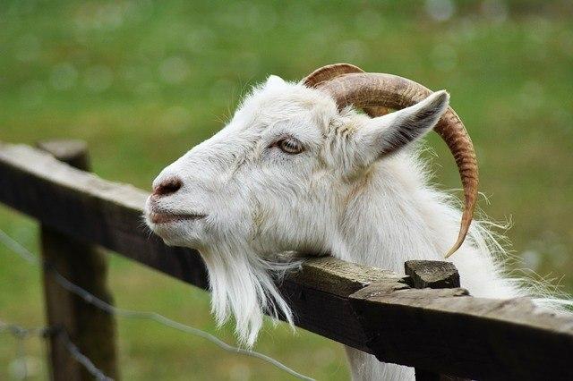 goat-dog-meat