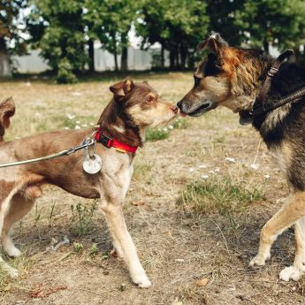 how to introduce new dog to aggressive dog