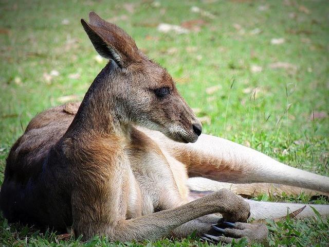kangaroo-dog-meat
