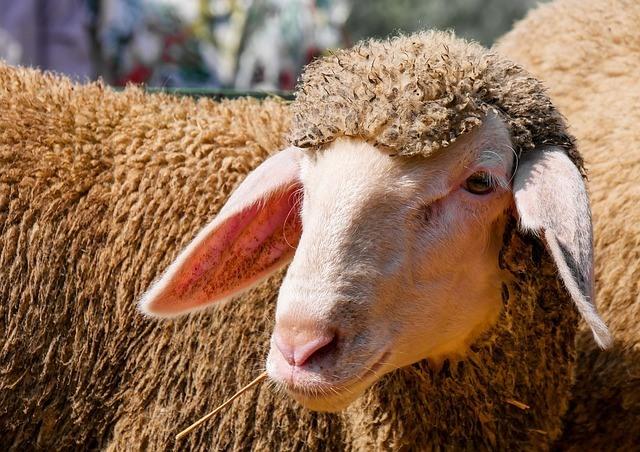 lamb-dog-meat