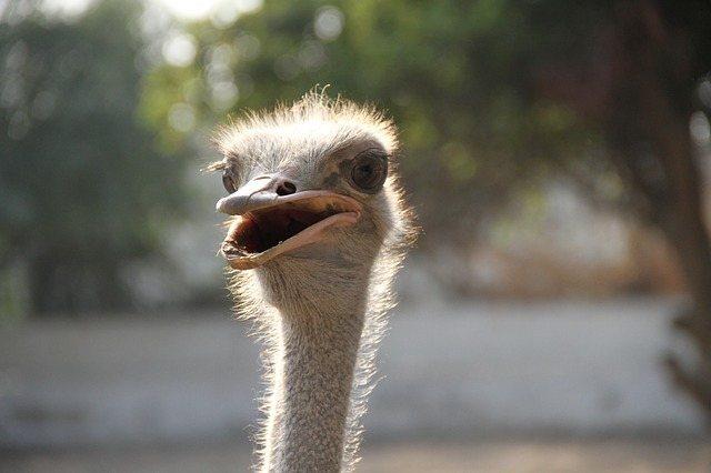 ostrich-dog-meat