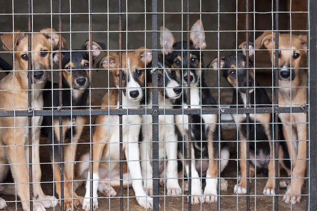 7 Things You Need to Know Before Adopting a Puppy Mill