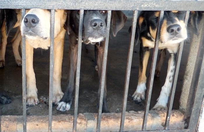 puppy-mill-vs-breeder