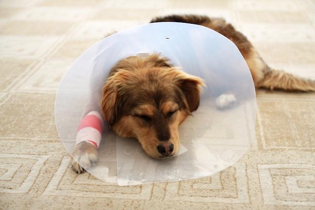 sick-puppy-mill-dog