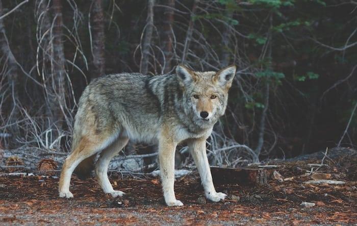 wolf-ancestry