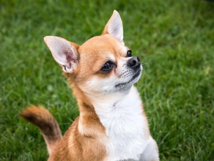 Chiweenie Chihuahua