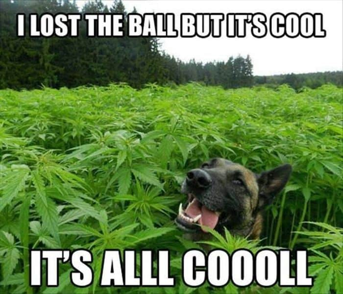 Dog Eating Weed