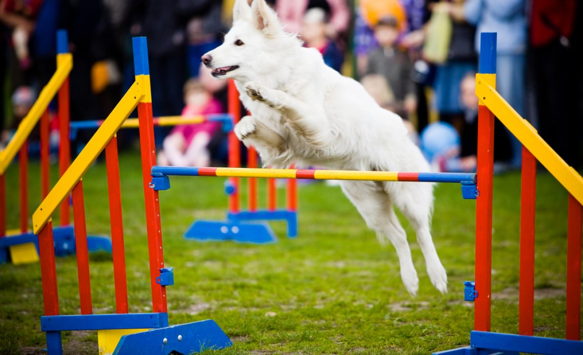 best dog breeds for agility