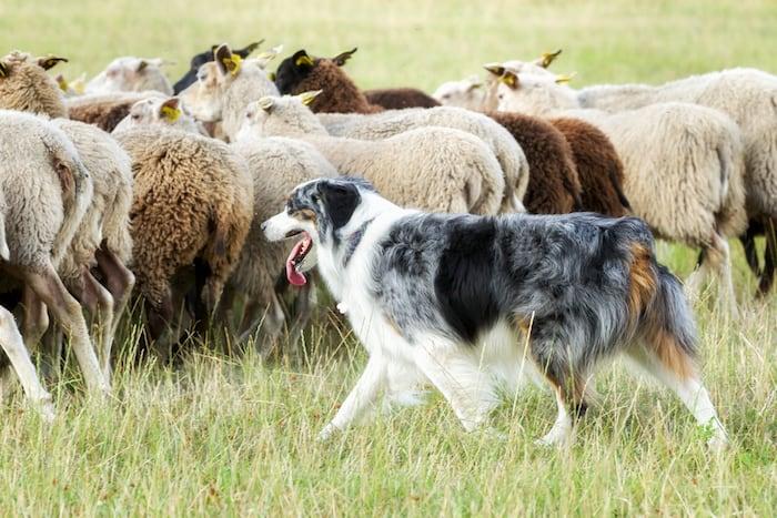 Border collie dog herding sheep