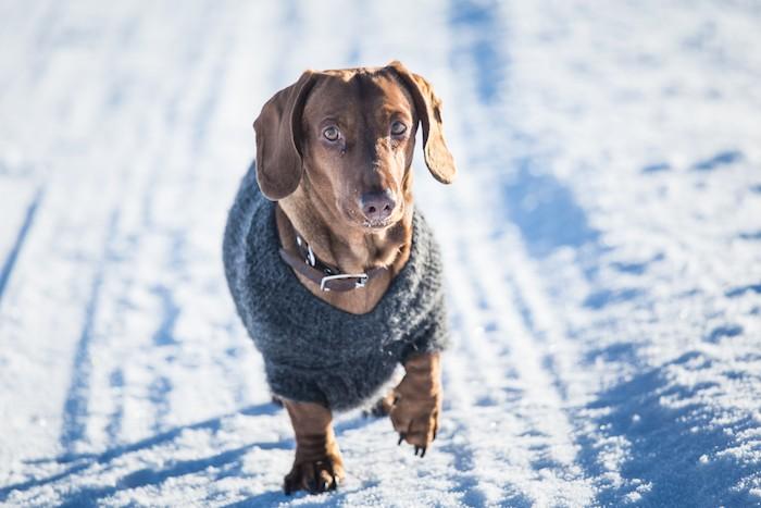 dog wearing sweater shaking