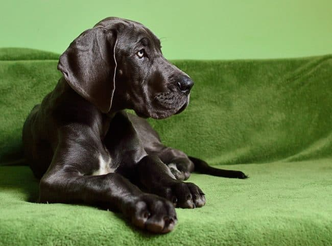 How Much Do Great Danes Cost? Pricing Factors & Breed Info!