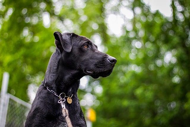 great-dane-mix-dog