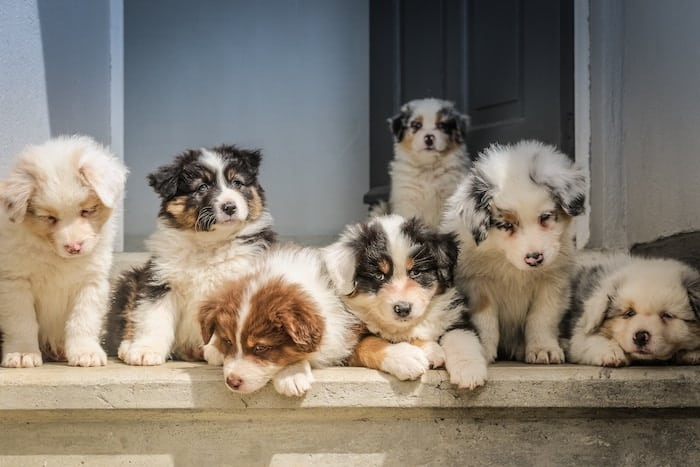 group-of-puppies