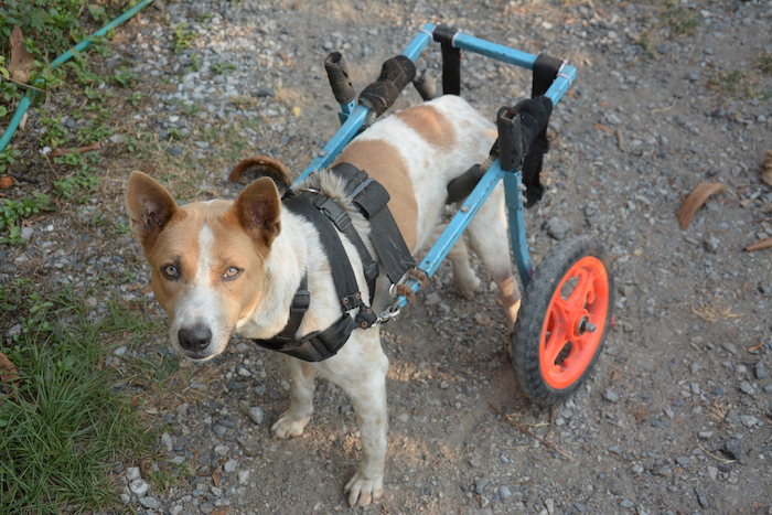 8 Dog DIY Wheelchair Plans: Learn How to Build A Dog Wheelchair!