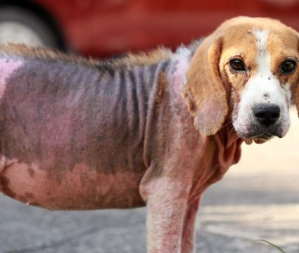 Dog Mange Treatments