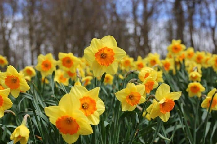 Daffodils are certainly attractive flowers, but they extremely toxic to dogs. Dogs can suffer from severe intestinal disturbances if they eat a few of these ...