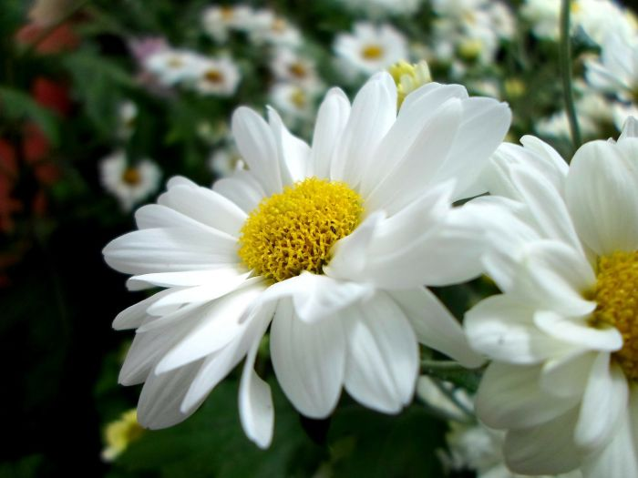 Gerber daisies (which are also called African or Transvaal daisies) are some of the most popular flowers around, given their bright and cheerful colors.