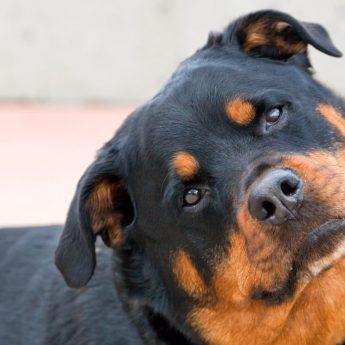 Why Dogs Tilt Their Heads