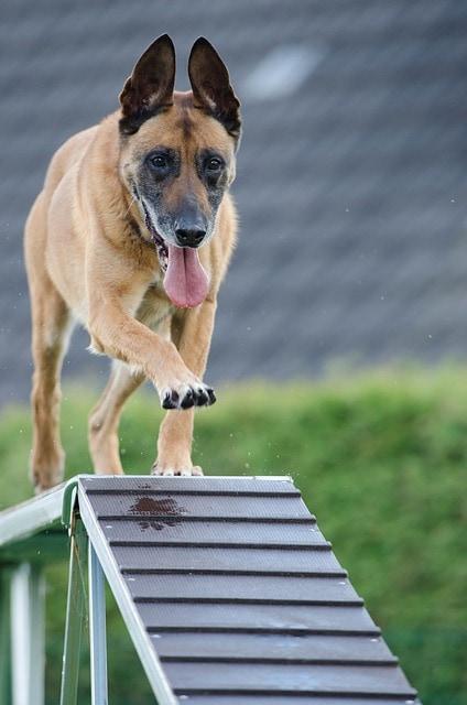 dog training agility class