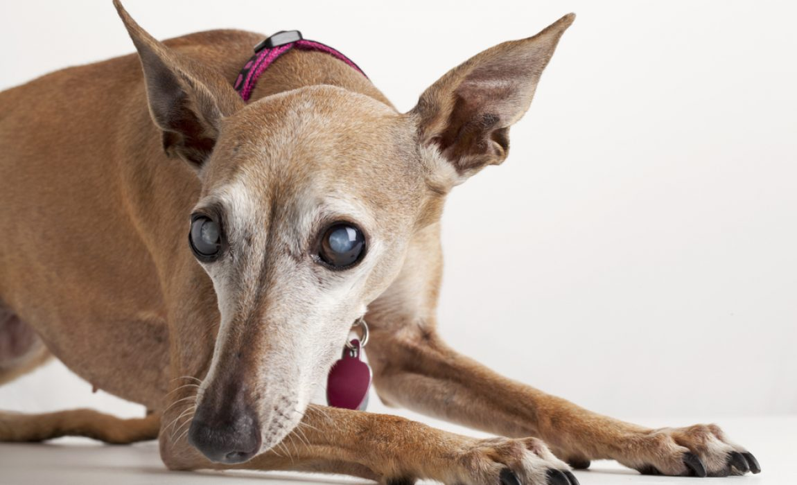 dog blindness