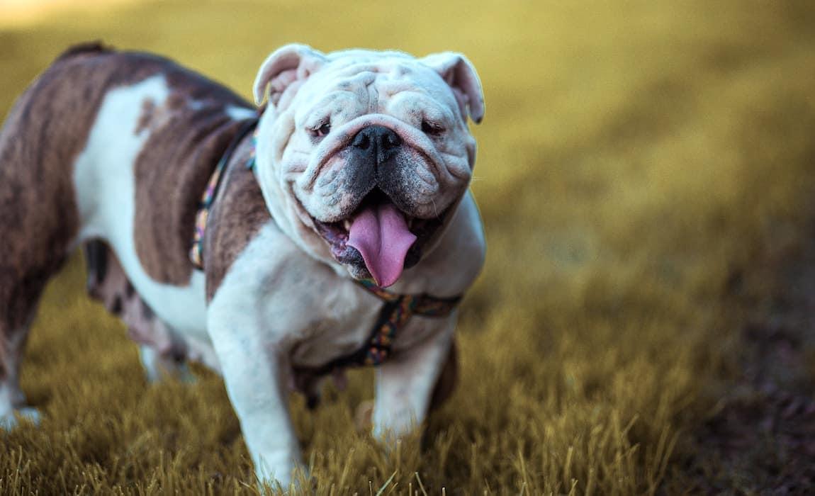 gassy-dog-breeds