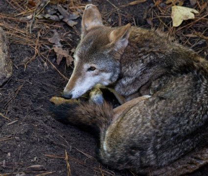 how-to-protect-dog-from-coyotes