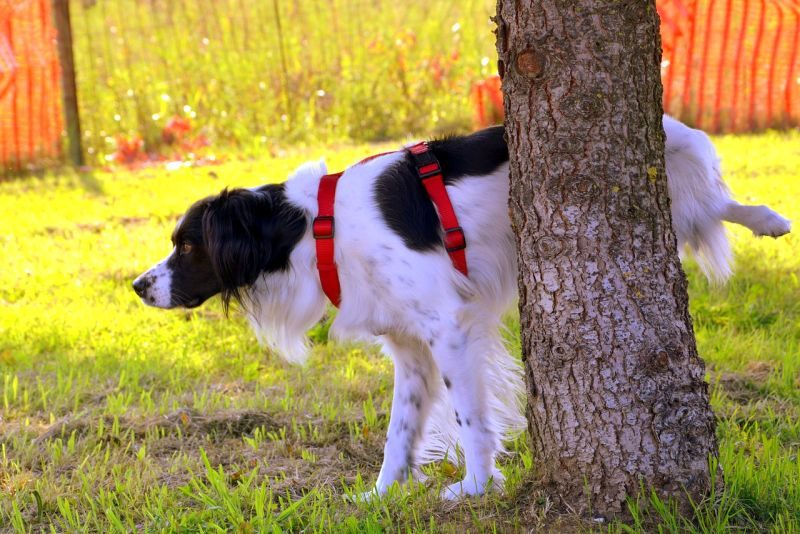 Dog Bladder Infection
