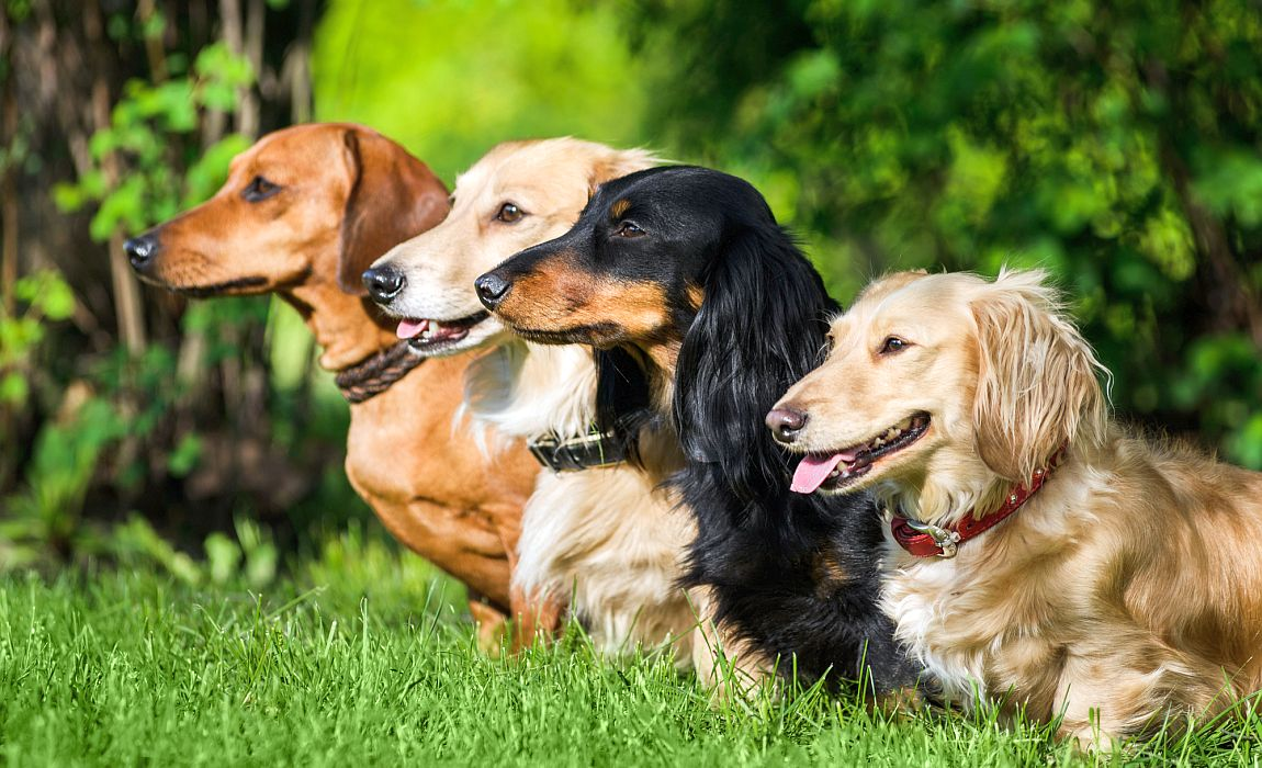 Types Of Dachshunds Smooth Long Wired Haired Amp More