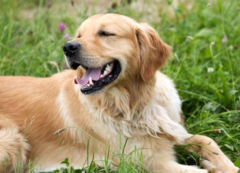 taurine deficiency in dogs