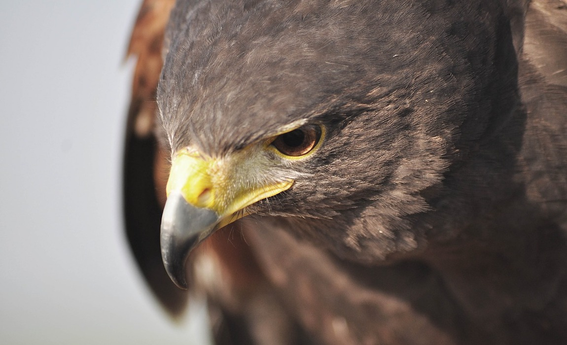 how-to-protect-your-dog-from-hawks