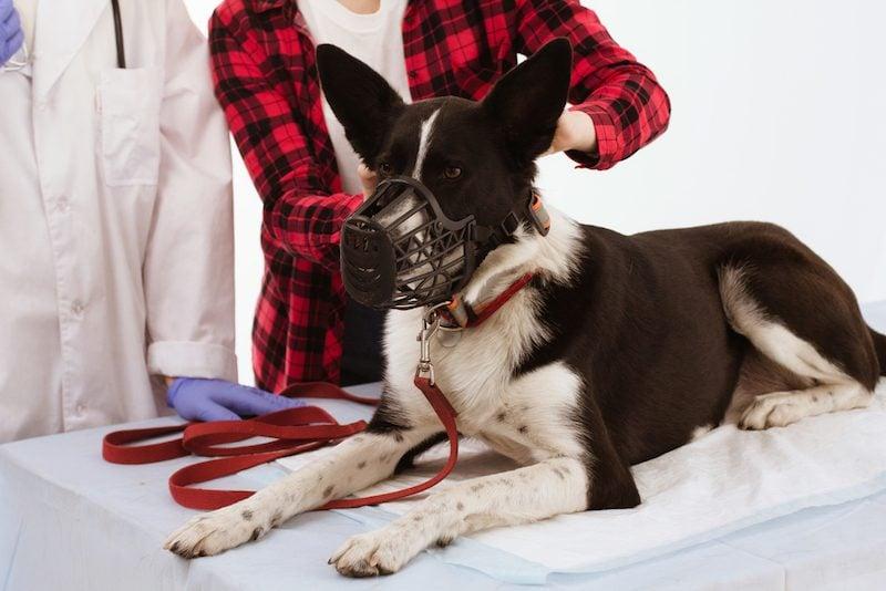 muzzle dog at vet