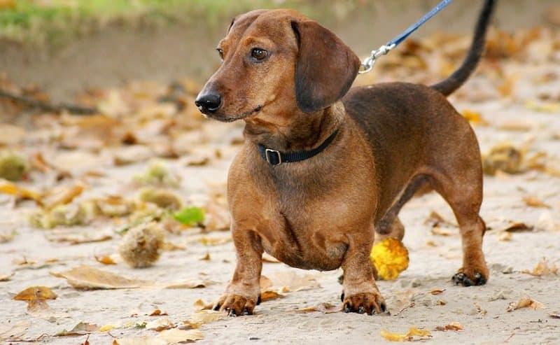 smooth haired dachshund