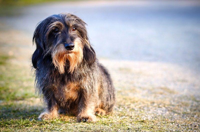 wire haired dachshund