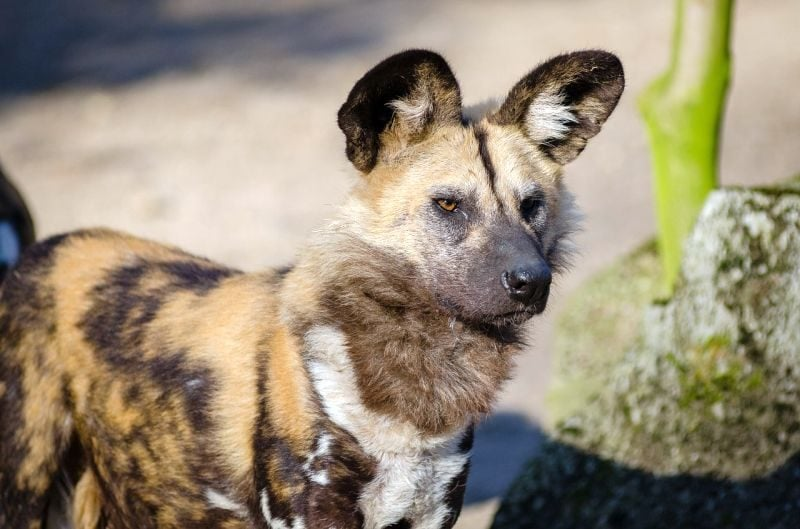 Diet for Wild Dogs