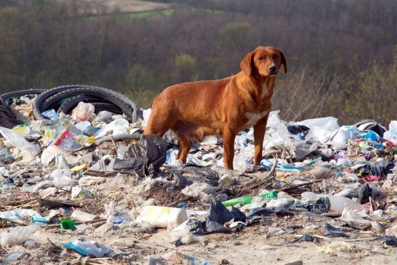 Wild dogs eat trash
