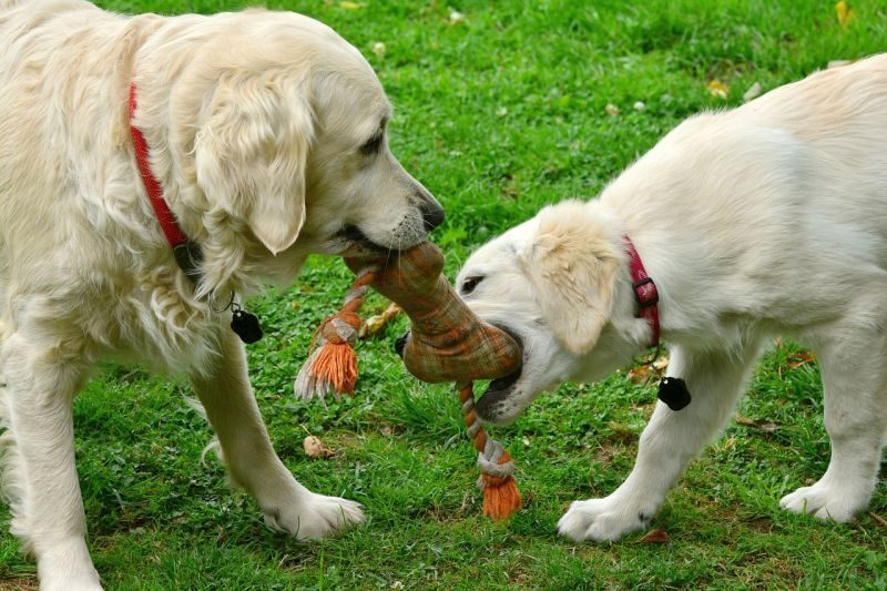 Puppies and adult dogs playing
