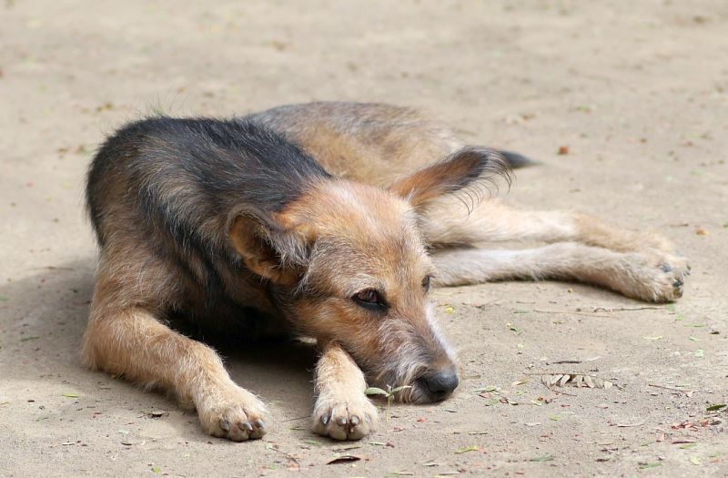 Diet of Feral Dogs