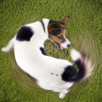 Dogs Chasing Tail