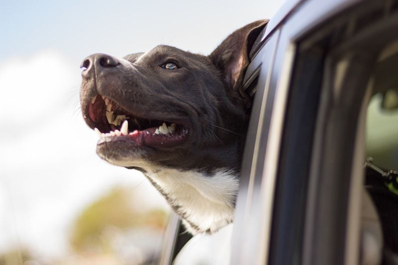 dog safety in cars