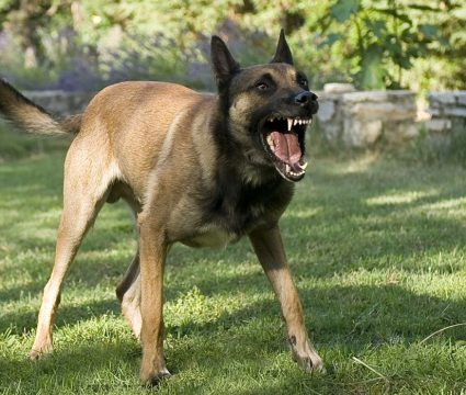 Territorial Aggression in Dogs
