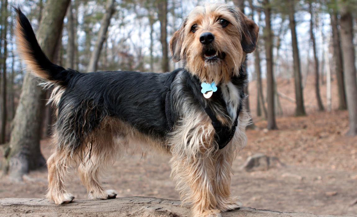 19 Yorkie Mi Magical Mutts Who Ll