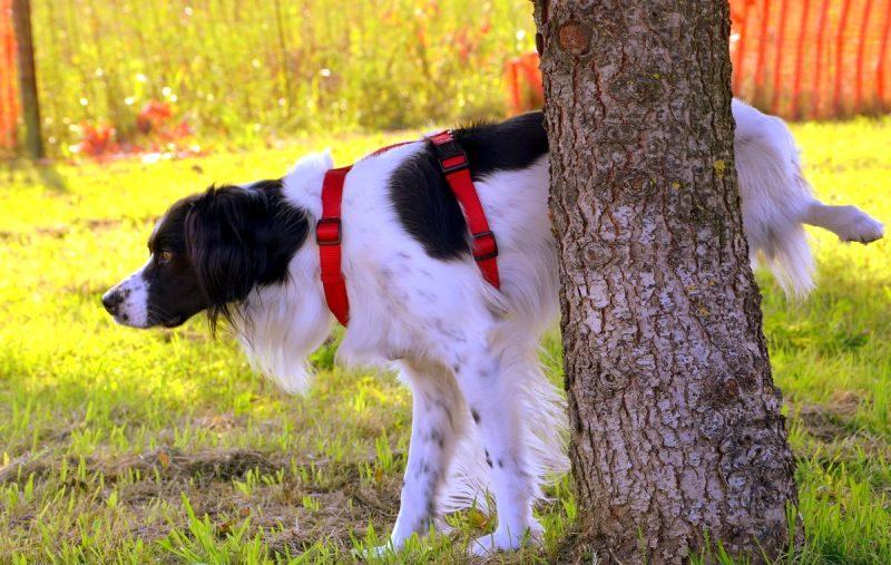 dog pee on command