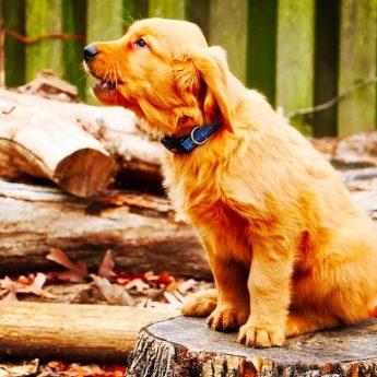 teach-dog-to-howl