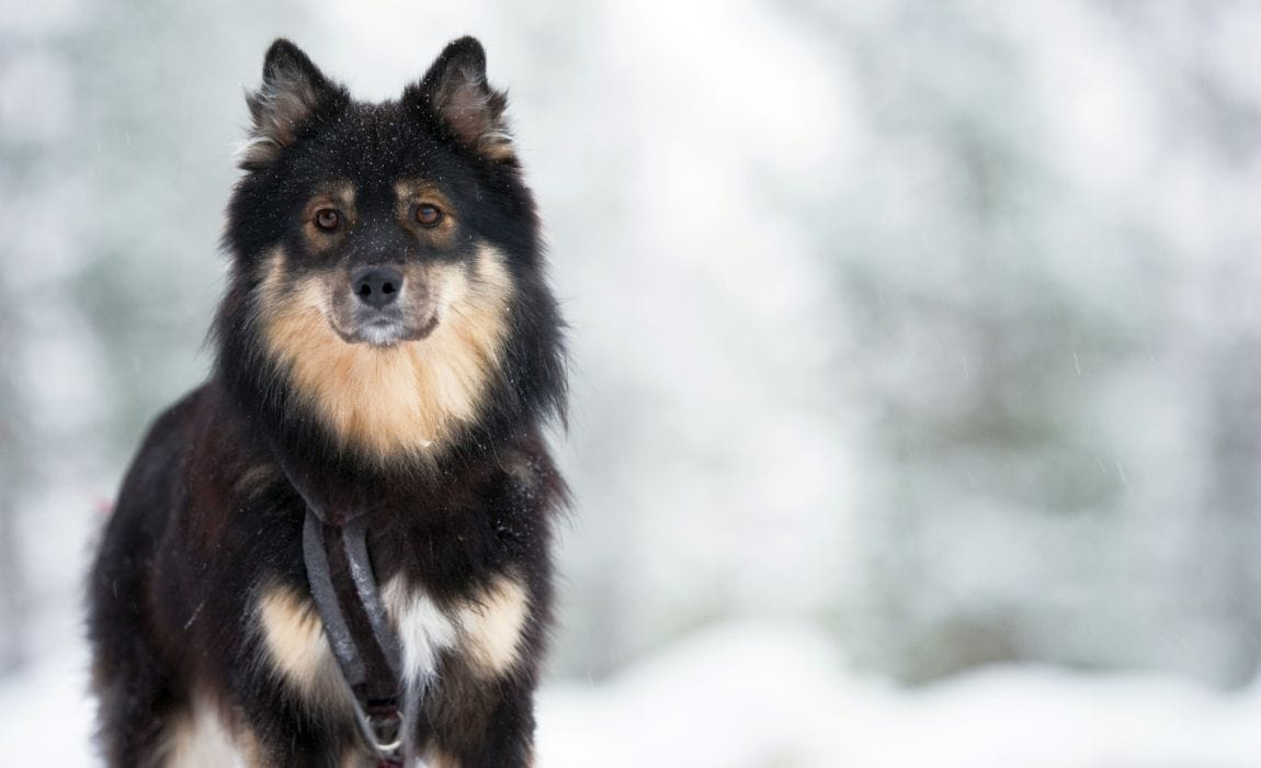 Swedish Dog Names
