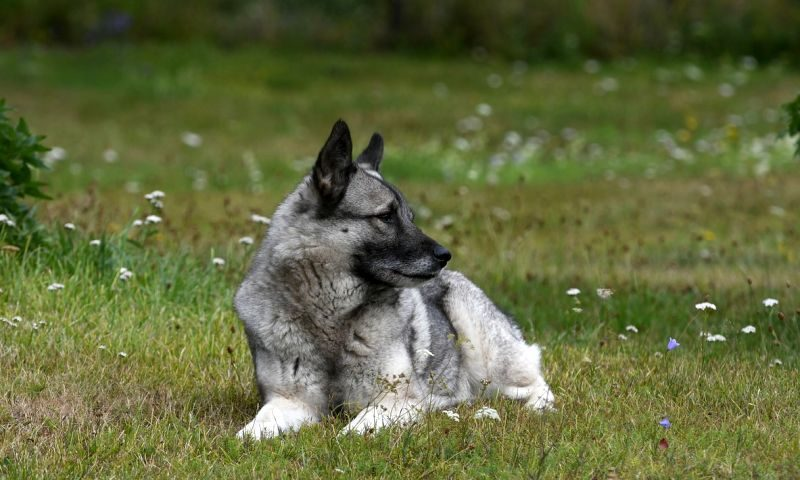 Swedish Names for Dogs