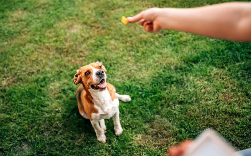 dog waiting for a treat