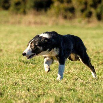 dog prey drive
