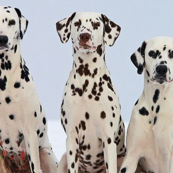 Spotted Dog Breeds