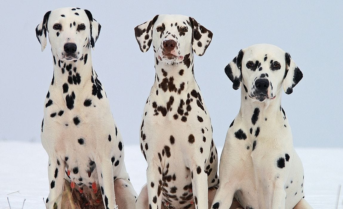 23 Stunning Spotted Dog Breeds You'll Love